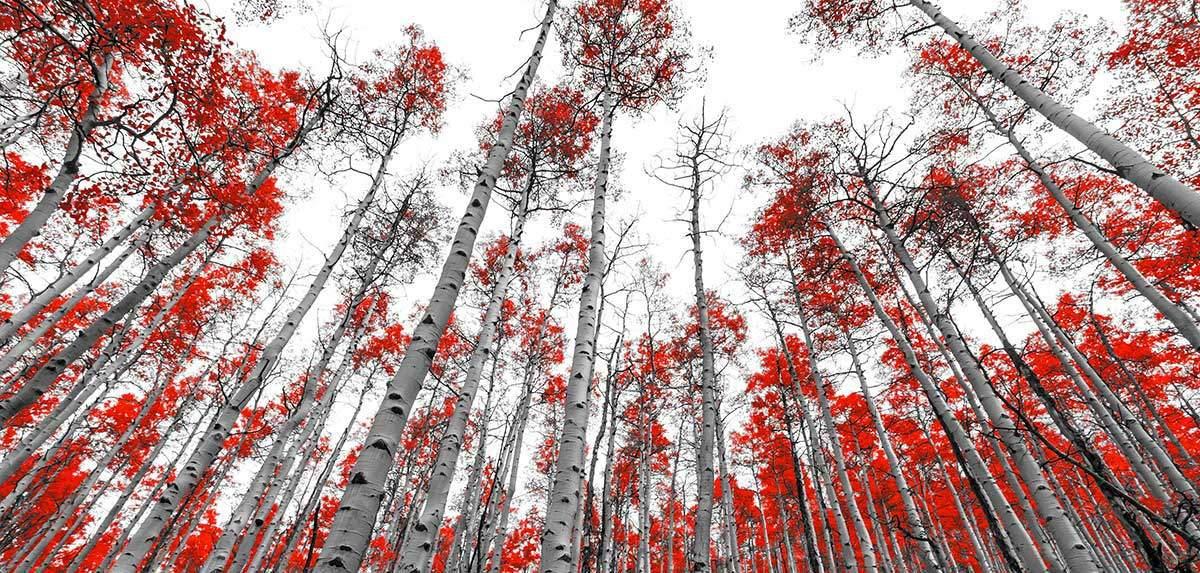 Gruppe von Birken mit roten Blättern